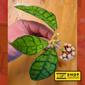 Hoya callistophylla Short leaf NEW