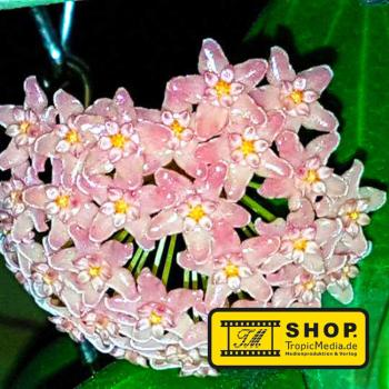 Hoya sp. from Philippines - 1 Pflanze - Wachsblume - Porzellanblume - MEGADEAL